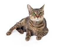 Tabby Emerald Green Eyed Cat Laying Stock Photo