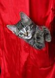 Tabby en soie rouge Images libres de droits