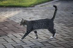 Tabby Erect Royalty Free Stock Images