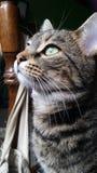 tabby eyed котом зеленый Стоковое Изображение RF