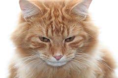 tabby för kattframsidaorange Arkivfoton