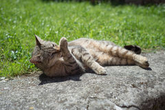 Tabby female cat licking himself Royalty Free Stock Photography