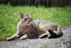 Tabby female cat resting outdoors Stock Photography