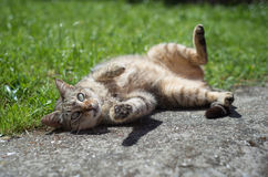 Tabby female cat wallowing outdoors Royalty Free Stock Image