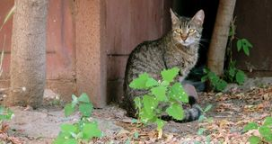 Tabby feral cat siting alone outdoors stock video