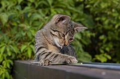 Tabby figlarka na ogrodzeniu fotografia royalty free