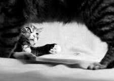 Tabby figlarka Przez Dorosłych Tabby kota nóg obraz royalty free