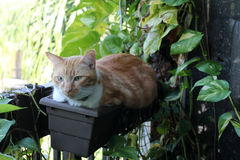 Tabby in flower pot. Yellow tabby cat lying in hanging flower pot Stock Photography