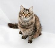 Tabby fluffy cat sitting on gray Royalty Free Stock Image