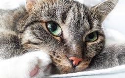 Tabby gray cat. Green eyes, muzzle close-up. Tabby gray cat is resting. Green eyes, muzzle close-up Royalty Free Stock Photos