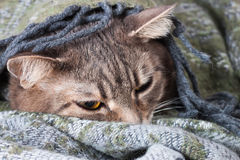 Tabby gray cat resting in a blanket Royalty Free Stock Image