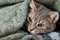 Tabby gray cat resting in a blanket Stock Photo