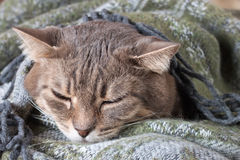Tabby gray cat resting in a blanket Stock Photography