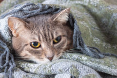 Tabby gray cat resting in a blanket Royalty Free Stock Images