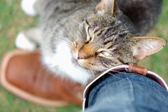 Tabby cat rubbing against owner affectionately. Tabby (gray and white) cat rubbing or cuddling up against its owner's brown cowboy boots and jeans affectionately Royalty Free Stock Image