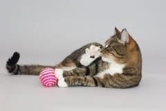 Tabby greeneyed cat  on grey Royalty Free Stock Photography