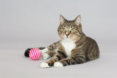 Tabby greeneyed cat  on grey Royalty Free Stock Photo