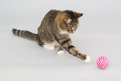 Tabby greeneyed cat playing with toy Royalty Free Stock Image