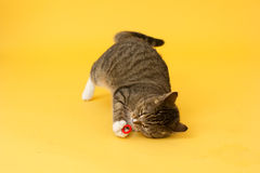 Tabby greeneyed cat playing with toy Stock Images