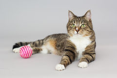 Tabby greeneyed cat plays with ball Stock Images