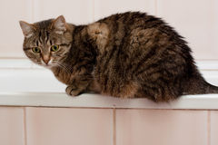Tabby grey cat Stock Images