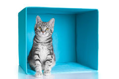 Tabby grey cat in blue cube stock photo