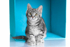 Tabby grey cat in blue cube Stock Image