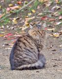 Tabby grey cat sitting on the ground. Beautiful tabby grey cat sitting on the ground, selective focus Royalty Free Stock Photos