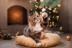 Tabby and happy cat. Christmas season 2017, new year, holidays and celebration. He plays with a Christmas toy Stock Photo
