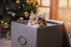 Tabby and happy cat. Christmas season 2017, new year. Holidays and celebration. He is sitting in a box Stock Photos