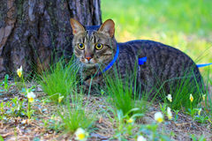 Tabby house cat first time outdoors on a leash Royalty Free Stock Image