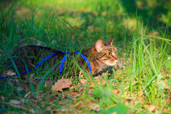 Tabby house cat first time outdoors on a leash. Scared nervous tabby domestic pet cat first time walking outside on a leash Royalty Free Stock Photo