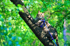 Tabby house cat first time outdoors on a leash. Scared nervous tabby domestic pet cat first time walking outside on a leash Stock Photos