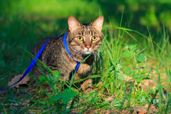 Tabby house cat first time outdoors on a leash. Scared nervous tabby domestic pet cat first time walking outside on a leash Stock Photography