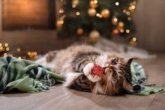 Tabby i szczęśliwy kot Boże Narodzenia przyprawiają 2017, nowego rok, wakacje i świętowanie, obraz stock