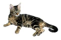 Tabby-Kätzchen stockbild