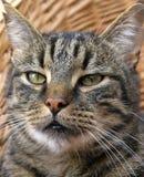 Tabby kat van de close-up Stock Afbeeldingen