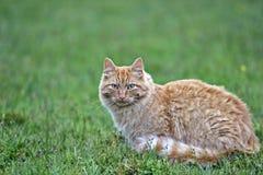 Tabby kat van de gember Royalty-vrije Stock Afbeelding
