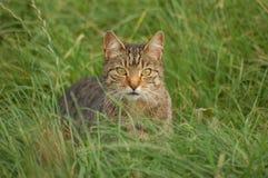 Tabby-Katze Lizenzfreies Stockfoto