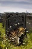Tabby-Katze durch Gravestone. Stockbild