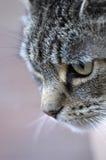 Tabby-Katze-Jagd lizenzfreie stockfotos