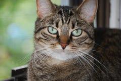 Tabby-Katze-Portrait lizenzfreie stockfotografie