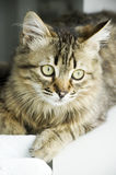 Tabby kitten Royalty Free Stock Photo