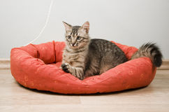 Tabby kitten Royalty Free Stock Images