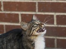 Tabby Kitten Fotografia de Stock