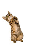 Tabby Kitten. Striking her paw in the air Royalty Free Stock Photo