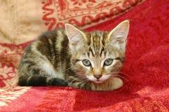 Tabby kitten stock images