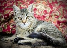 Tabby Kitten Adoption Photo fotos de stock royalty free