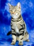 Tabby Kitten Adoption Photo imagens de stock