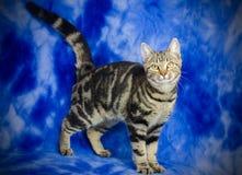 Tabby Kitten Adoption Photo fotos de stock